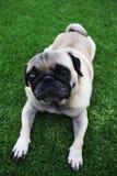 Netter Biege-Pug, der auf Gras liegt Lizenzfreie Stockfotos