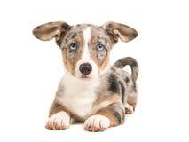 Netter blauer merle Waliser-Corgiwelpe mit den blauen Augen, die sich hinlegen Lizenzfreie Stockbilder
