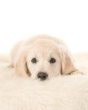Netter blonder golden retriever-Welpe, der sich auf weißem Pelz hinlegt Stockfotos