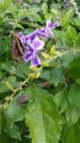 Netter Blumen perple Lavendel Stockbilder