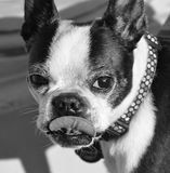 Netter Boston-Terrier Stockbild