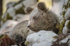 Netter Braunbär, der bequem sitzt Lizenzfreie Stockbilder