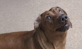 Netter brauner Dachshundhund, der unten setzt und oben schaut Lizenzfreies Stockbild