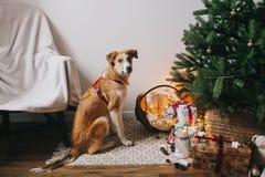 Netter brauner Hund, der im Raum am Weihnachtsbaum mit Lichtern sitzt und Stockfoto