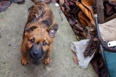 Netter brauner Welpe, der Kamera betrachtet und um Draufsicht des Lebensmittels bittet Lustiger Hund im Hinterhof Inländischer Hu Lizenzfreie Stockbilder