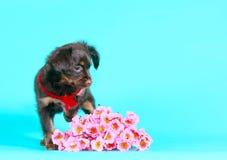 Netter brauner Welpe mit dem langen Haar Schöner Hund und rosa Blumenstrauß Stockbilder