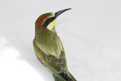 Netter bunter Bee-eater stockbilder