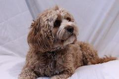 Netter cavapoo Hund auf einem weißen Hintergrund lizenzfreies stockfoto