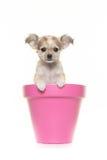 Netter Chihuahuawelpe in einem rosa Blumentopf Stockfotografie