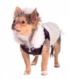 Netter Chihuahuawelpe gekleidet im modischen Mantel lizenzfreie stockfotografie
