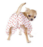 Netter Chihuahuawelpe mit lustigem Schlüpfer Lizenzfreies Stockbild