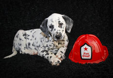 Netter Dalmatien-Welpe Lizenzfreies Stockfoto