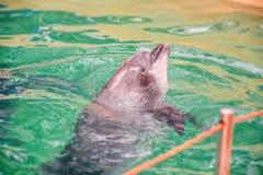Netter Delphin im Pool im dolphinarium stockfoto