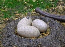 netter Dinosaurier, der von einem Ei ausbrütet lizenzfreie stockfotos