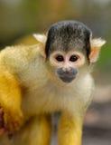 Netter Eichhörnchenfallhammer lizenzfreie stockbilder