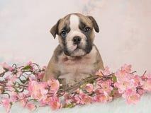 Netter englischer Bulldoggenwelpe, der zwischen rosa Blumen auf einem blauen Pelz auf einem weichen rosa Hintergrund sitzt Lizenzfreie Stockfotografie