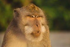 Netter erwachsener Affe im Regenwald Bali, Indonesien Lizenzfreie Stockfotografie