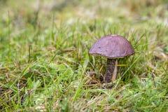 Netter essbarer Pilz im grünen Gras Stockfoto