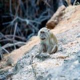 Netter Fallhammer auf Felsen, Komodo Insel Lizenzfreie Stockfotografie