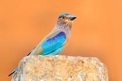 Netter Farbhellblauer Vogel indische Rolle, die auf dem Stein mit orange Hintergrund sitzt Birdwatching in Asien Schöne Farbe bir Stockbild