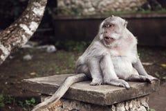 Netter fetter langschwänziger Makaken-Affe, der in Uluwatu, Bali traurig schaut Lizenzfreies Stockfoto