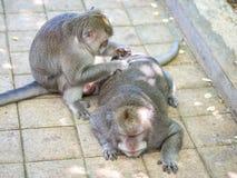 Netter fetter langschwänziger Makaken-Affe in Uluwatu, Bali, Indonesien Lizenzfreie Stockfotografie