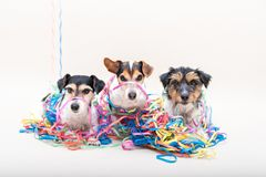 Netter frecher Hund der Partei drei Jack Russell verfolgt bereites zum Karneval stockfotos
