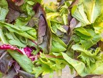 Netter frischer Kopfsalat stockfotografie