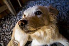 Netter gelber Hund, der das vordere Whitgras des Hintergrundes betrachtet Stockbild
