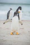 Netter Gentoo-Pinguin auf sandigem Strand Stockbilder