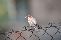Netter Gesangspatz, der auf einem Zaun sitzt stockbild