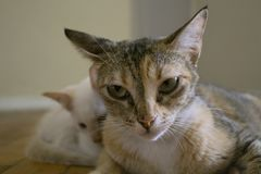 Netter Gesichtsausdruck Mutterkatze mit Kätzchen Stockfotografie