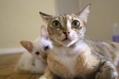 Netter Gesichtsausdruck Mutterkatze mit Kätzchen lizenzfreies stockbild