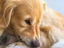 Netter goldener Apportierhund Lizenzfreie Stockbilder