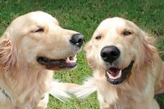 Netter goldener Apportierhund auf dem Gras Lizenzfreies Stockbild