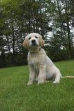Netter goldener Apportierhund-Welpe Stockfotos