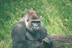 Netter Gorilla, der eine Karotte isst Stockfoto