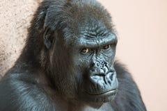 Netter Gorillaabschluß herauf das Porträt, das aus den Grund sitzt Lizenzfreie Stockfotografie