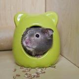 Netter Hamster stockfoto