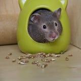 Netter Hamster lizenzfreies stockfoto