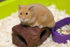 Netter Hamster in seinem Käfig Stockbild