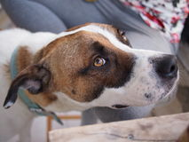 Netter Haustierhund Lizenzfreie Stockfotos