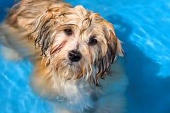 Netter havanese Welpe badet in einem Pool des blauen Wassers Lizenzfreie Stockfotos