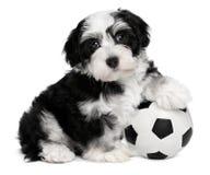 Netter havanese Welpenhund mit einer Fußballkugel Lizenzfreie Stockfotografie