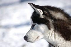 Netter heiserer Hund Stockfotografie