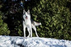 Netter heiserer Hund, der um den Berg wandert lizenzfreies stockbild