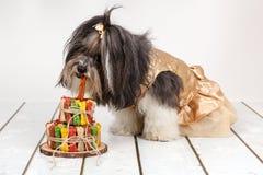 Netter Hund Bichon Havanese, der den Geburtstagskuchen gemacht wird vom Hund isst, behandelt lizenzfreie stockfotos