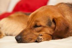 Netter Hund, der auf der Couch stillsteht Lizenzfreies Stockfoto