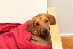 Netter Hund, der auf der Couch stillsteht Lizenzfreies Stockbild