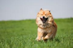 Netter Hund, der auf der Wiese läuft Stockbild